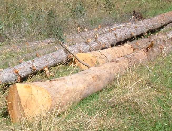 Logs skidded in a pile